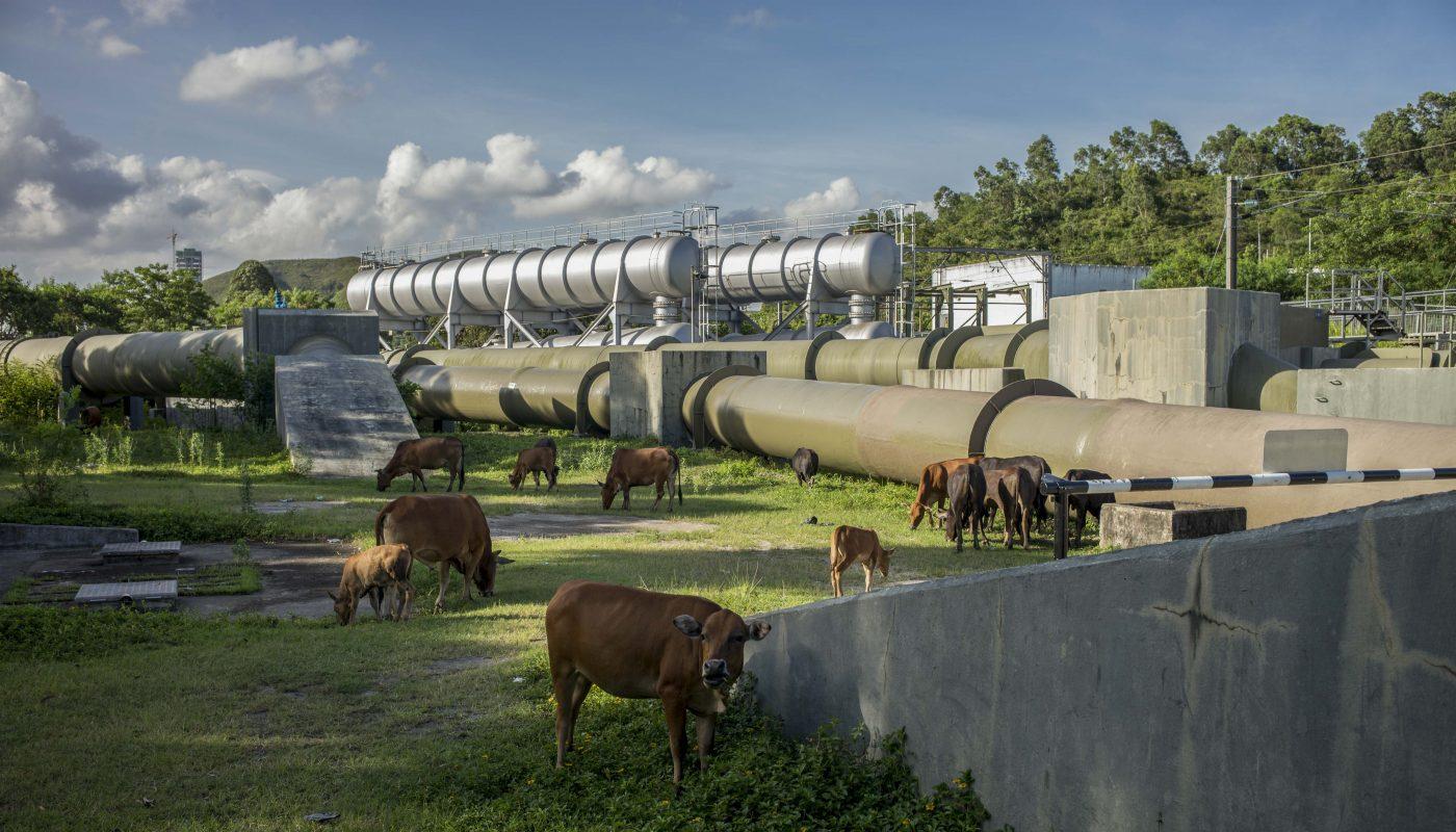 上水東江水管近年吸引不少攝影愛好者到此取景,水管旁的草地也是牛群喜歡的覓食之地。