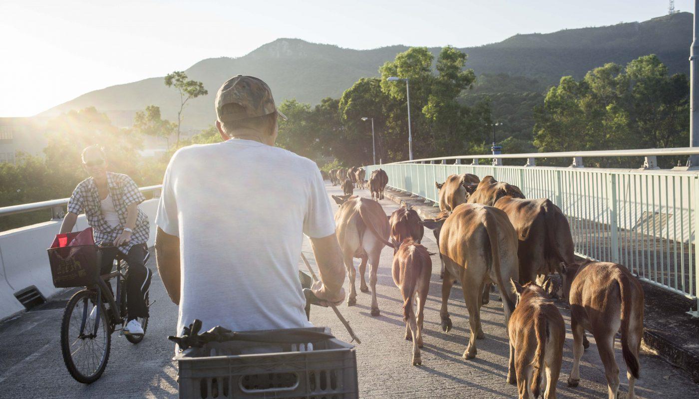 他在70年代買了五頭牛,開始每天沿著梧桐河放牛養牛的生活。