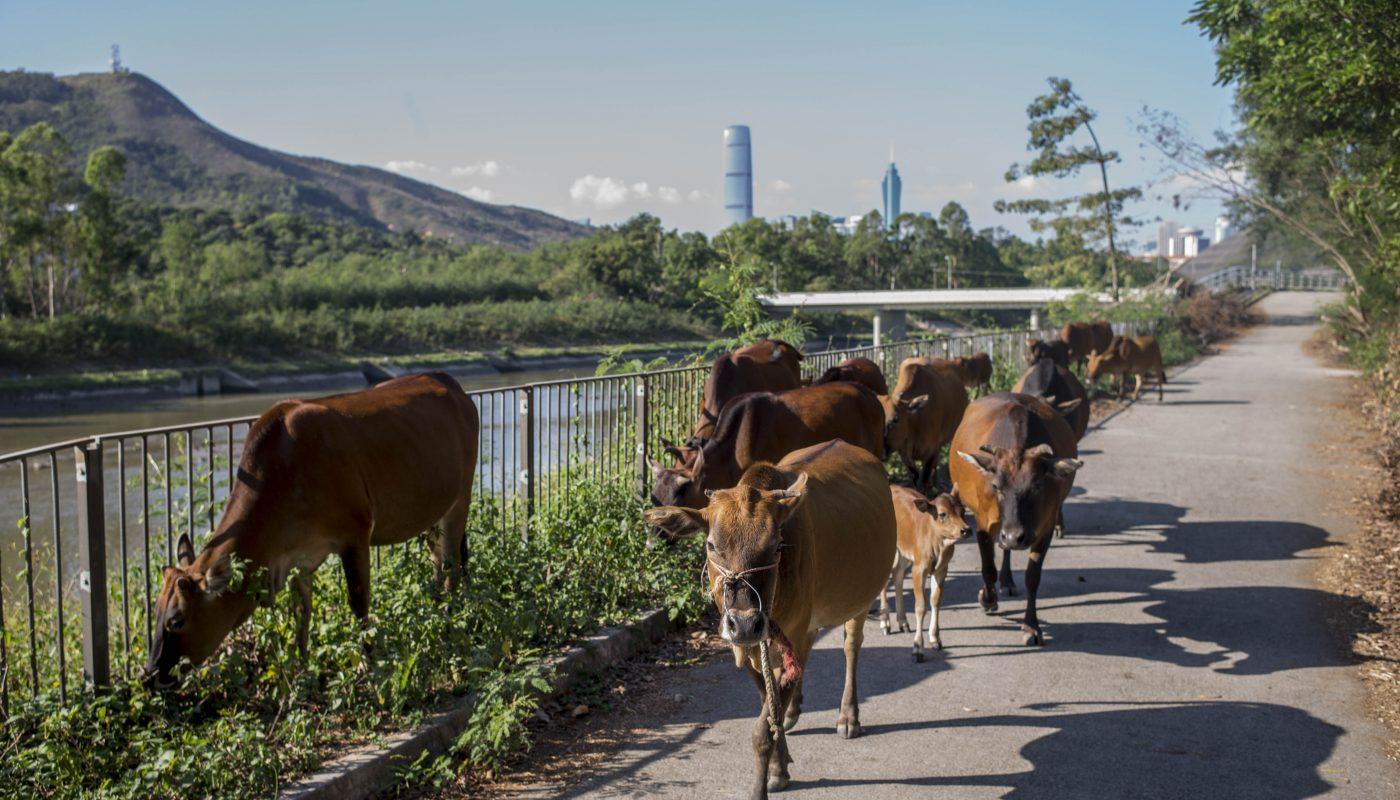 胡伯的牛群沿悟桐河緩緩行走,遠方的深圳商廈已高速建成。