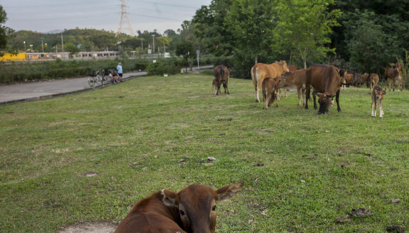 梧桐河邊的一幅大草地是牛群吃草的最後一站,每到這時,胡伯就坐在一旁跟附近居民海闊天空地談天,任由牛群吃個飽。