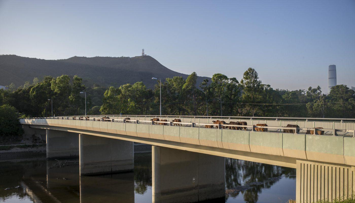 四十頭牛橫過梧桐河的橋浩蕩回家,留下香港少見的鄉郊景致。