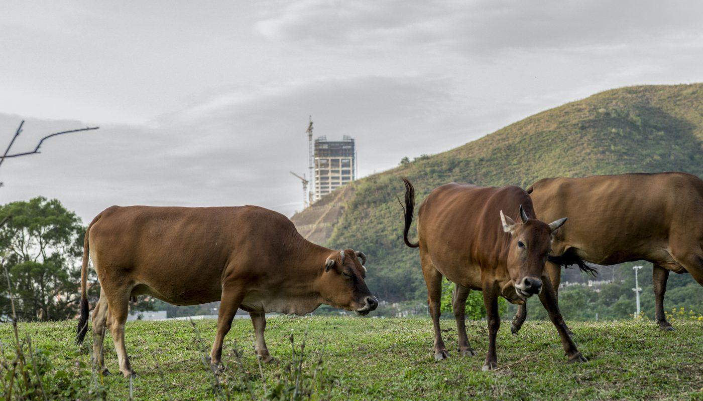 牛群不太害怕陌生人,人走近了,他們也安然自得。